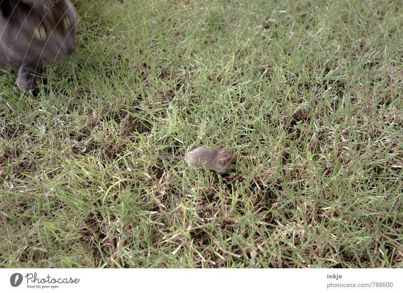 Katz und Maus Katze Natur Tier Leben Wiese Angst Wildtier laufen bedrohlich Todesangst rennen Tiergesicht Wachsamkeit Jagd Haustier Hauskatze