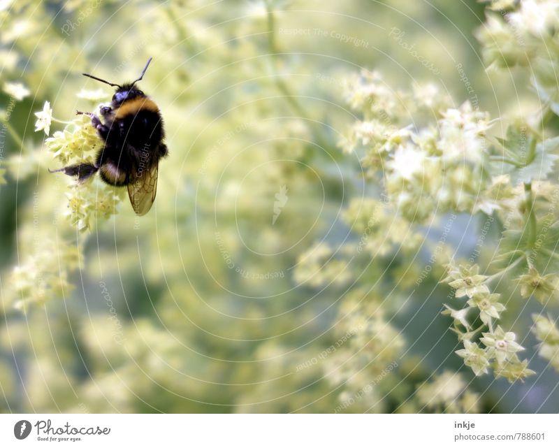fleißige Hummel | Natur Pflanze Tier Frühling Sommer Blume Blüte Frauenmantel Garten Park Wildtier 1 hängen hocken natürlich Gefühle Umwelt Farbfoto
