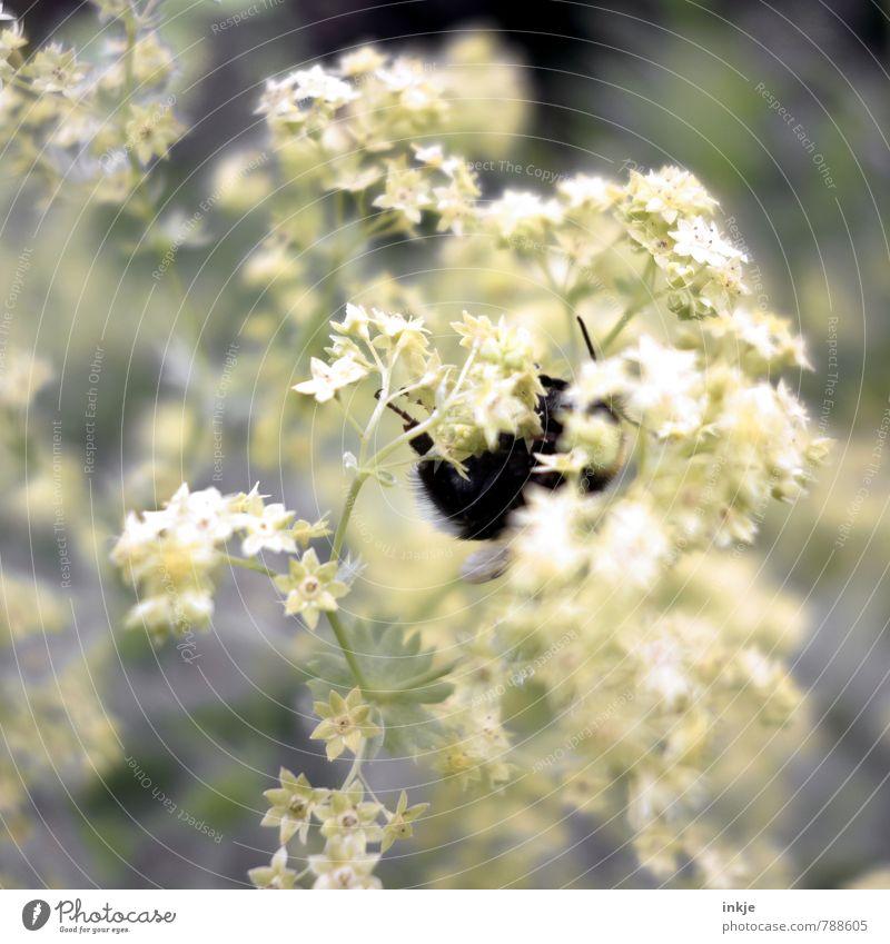 fleißige Hummel || Natur Pflanze Tier Frühling Sommer Blume Blüte Frauenmantel Garten Park Wildtier 1 hängen natürlich Gefühle Umwelt Farbfoto Gedeckte Farben