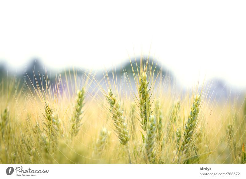 Gerstenfeld Landwirtschaft Forstwirtschaft Natur Schönes Wetter Nutzpflanze Gerstenähre Feld ästhetisch hell nah natürlich Wärme nachhaltig ruhig Wachstum