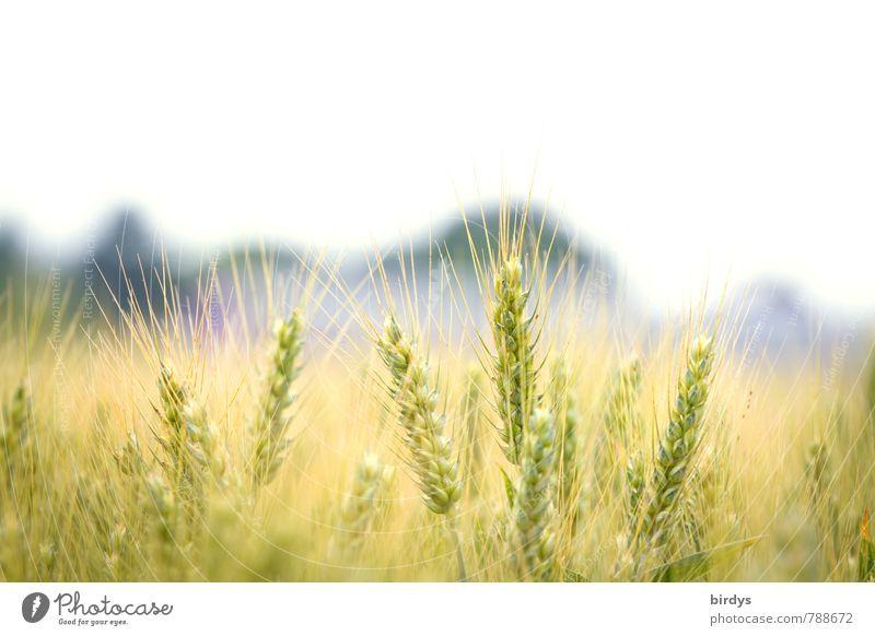 Gerstenfeld Natur ruhig Wärme natürlich hell Feld Wachstum ästhetisch Schönes Wetter Landwirtschaft nah Bioprodukte ökologisch nachhaltig