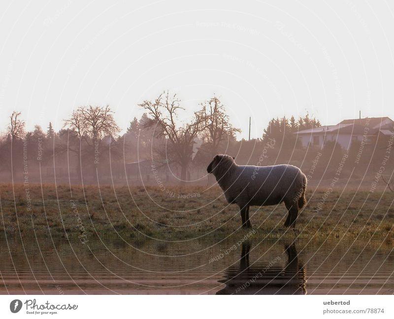 Das Radebeuler Schaf Wiese Winter Landwirtschaft Nutztier Wolle kalt Nebel Einsamkeit Außenaufnahme Dresden Natur Wärme Landschaft