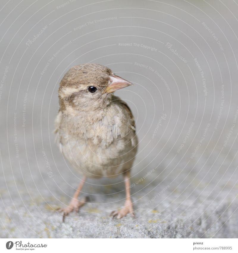 Schulterblick Umwelt Natur Tier Schönes Wetter Wildtier Vogel 1 braun grau Spatz Berlin stehen Blick Farbfoto Außenaufnahme Menschenleer Textfreiraum rechts