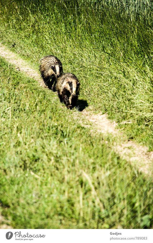 Dachsjagd Natur grün weiß Tier schwarz Bewegung Wiese braun Feld Wildtier Abenteuer Jagd