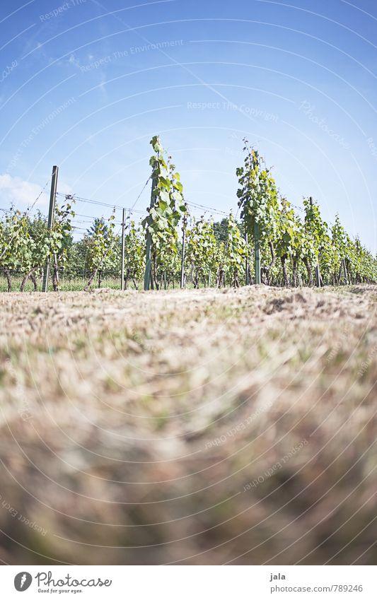 weinreben Landwirtschaft Forstwirtschaft Umwelt Natur Landschaft Pflanze Himmel Sommer Grünpflanze Nutzpflanze Wein Weinbau Feld natürlich Wachstum Farbfoto