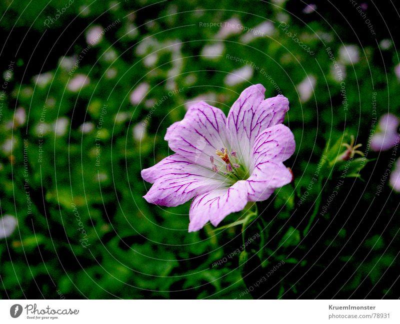 Zartes Blümchen schön Blume grün Sommer Wiese Blüte Gras Feld rosa süß zart Stengel Zärtlichkeiten