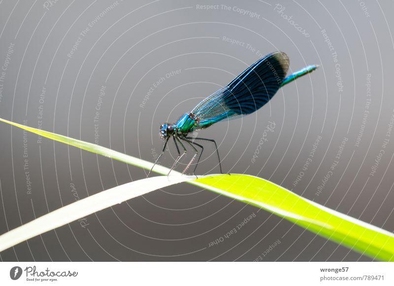 Exponierter Lage Tier Sommer Blatt Schilfrohr Flussufer klein blau grün Insekt Libelle Makroaufnahme Nahaufnahme Rastplatz ruhen beobachten Landeplatz