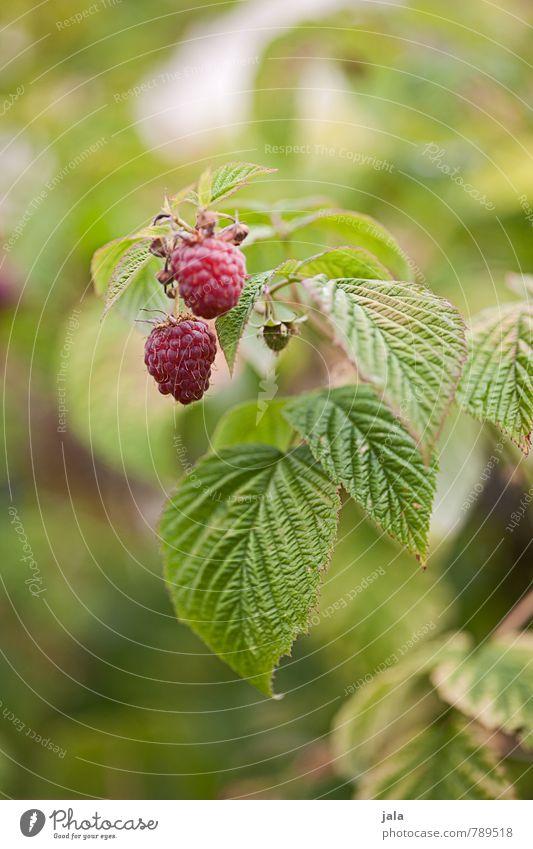 himbeeren Lebensmittel Frucht Himbeeren Ernährung Bioprodukte Vegetarische Ernährung Natur Pflanze Sommer Nutzpflanze Garten frisch Gesundheit klein lecker