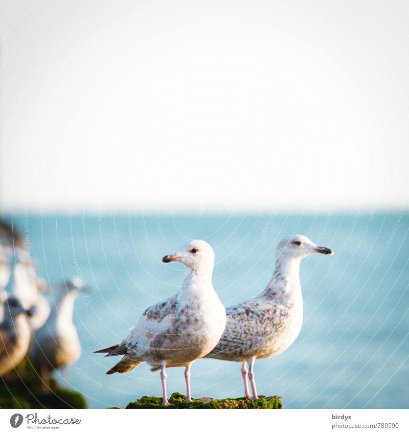 Alles unter Kontrolle Küste Meer Wildtier Möwe 2 Tier beobachten Blick ästhetisch Coolness frei Zusammensein maritim positiv loyal Wachsamkeit Freundschaft