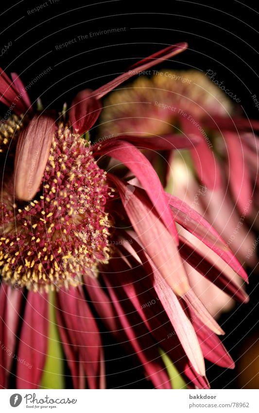 Verwelktes Blümlein Enttäuschung vergangen Vor dunklem Hintergrund Blume rosa mehrfarbig dunkel Vergänglichkeit groß Vordergrund Hintergrundbild Blüte schwarz