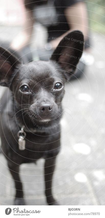 Neo, die Teppichrakete bissig vertikal Hochformat winzig Hund klein unschuldig schwarz grau Halsband Schnauze Tier Haustier Fell Farbfoto Säugetier domestiziert