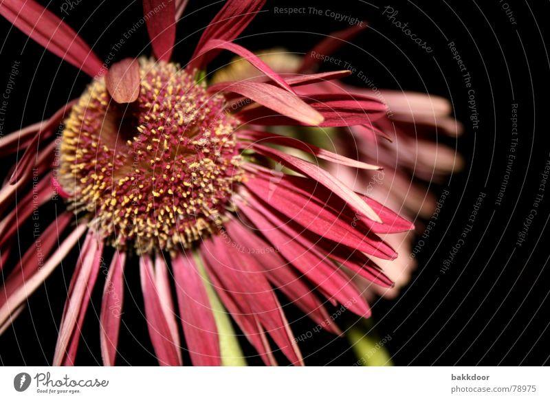 Frontalblume Enttäuschung vergangen Blume rosa mehrfarbig dunkel Vergänglichkeit groß Vordergrund Hintergrundbild Blüte schwarz Trauer wirklich bleich