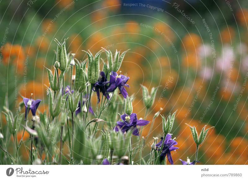 Sommergarten Umwelt Natur Pflanze Schönes Wetter Blume Garten schön grün violett orange Gartenarbeit Vorgarten Blüte Blühend Farbfoto Außenaufnahme