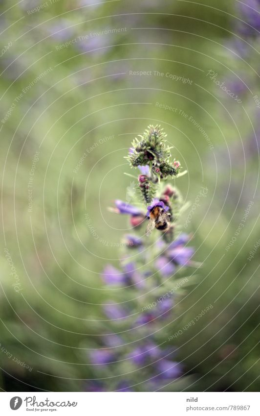 Dicke Hummel I Natur grün Pflanze Sommer Blume Blatt Tier Umwelt Blüte Garten Park Wildtier Schönes Wetter Grünpflanze Frühlingsgefühle fleißig