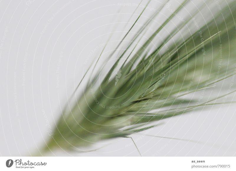 Getreide Gesundheit Leben Umwelt Natur Pflanze Wetter Schönes Wetter Wind Nutzpflanze Wildpflanze Feld Wachstum modern natürlich Spitze wild grau grün Bewegung