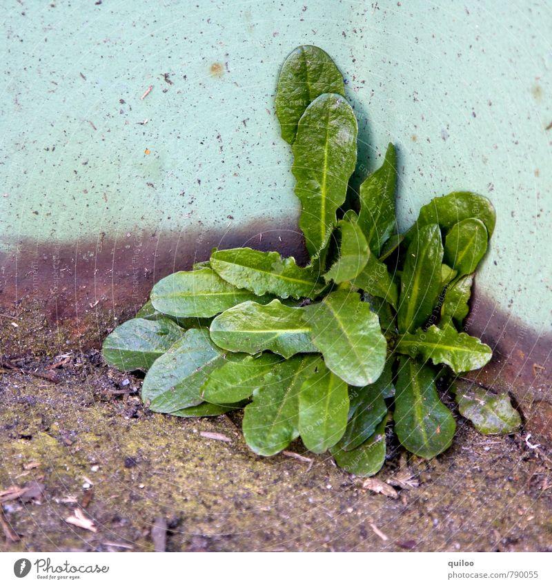 es grünt Natur Pflanze Blatt Grünpflanze Mauer Wand Wachstum natürlich unten violett türkis Lebensfreude Kraft Willensstärke Ausdauer standhaft Entschlossenheit