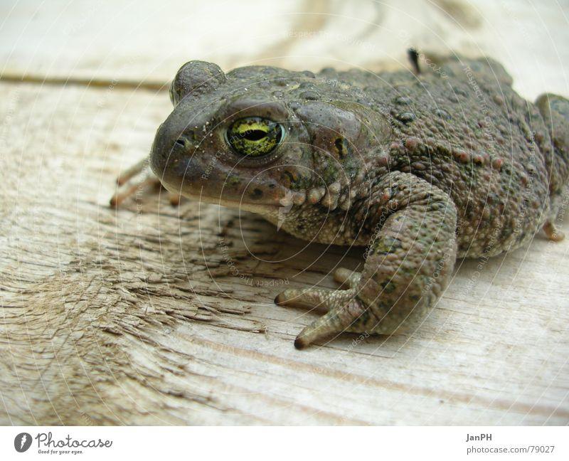 Auge in Auge Kreuzkröte Tier Holz ökologisch Umweltschutz grün braun grau Amphibie Kröte Makroaufnahme Leben Frosch