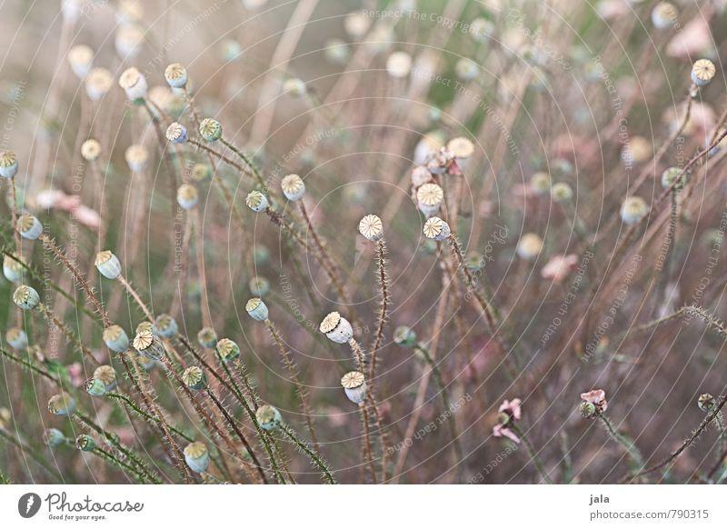 verblüht Natur schön Pflanze Blume Umwelt Wiese feminin wild ästhetisch weich Mohn Wildpflanze Mohnkapsel