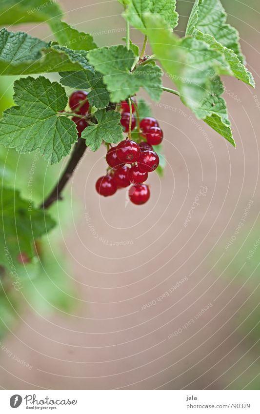 johannisbeeren Lebensmittel Frucht Johannisbeeren Bioprodukte Vegetarische Ernährung Natur Pflanze Sommer Nutzpflanze Garten frisch Gesundheit lecker natürlich