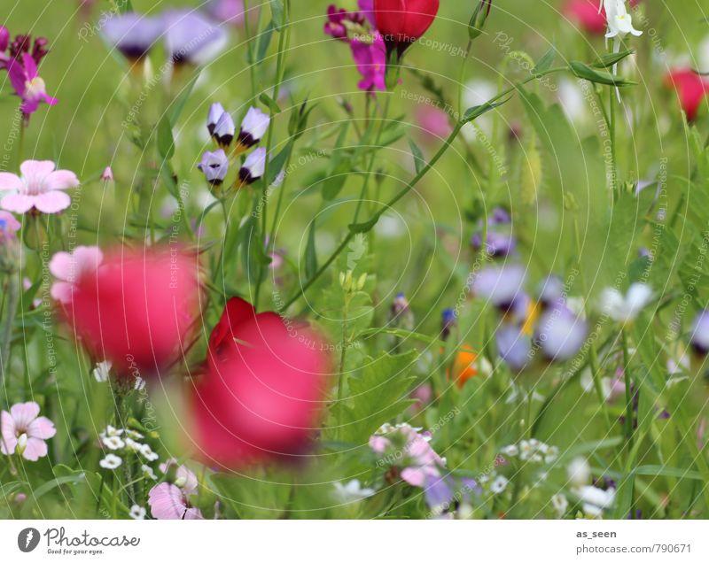 Sommerwiese IV Natur Pflanze blau Farbe rot Freude Umwelt Leben Blüte Wiese natürlich Gesundheit Garten Freiheit Feld