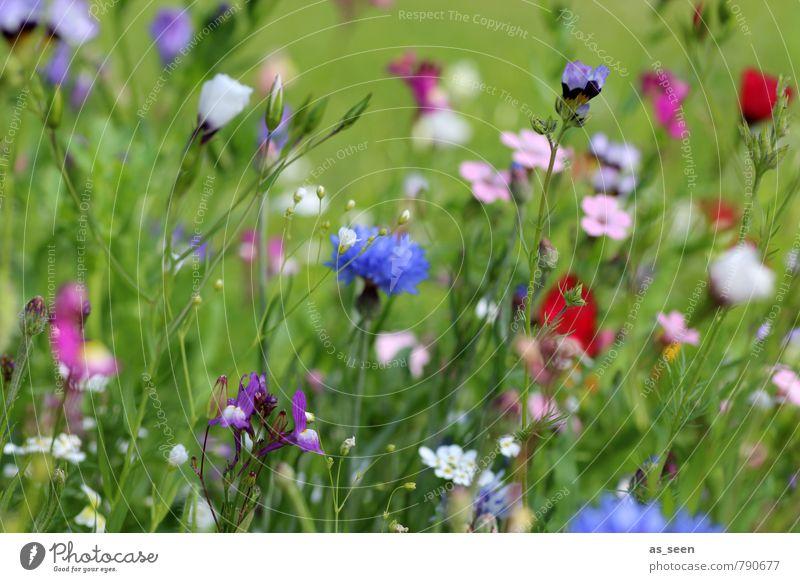 Sommerwiese Wellness harmonisch Duft Ausflug Freiheit Gartenarbeit Umwelt Natur Blume Wiese Feld Blühend leuchten Wachstum blau mehrfarbig rosa rot Fröhlichkeit