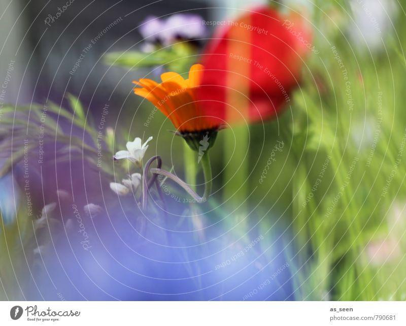 Sommerwiese III Wellness harmonisch Gemälde Umwelt Natur Pflanze Blume Gras Blüte Garten Wiese Blühend Duft leuchten Wachstum ästhetisch blau mehrfarbig orange
