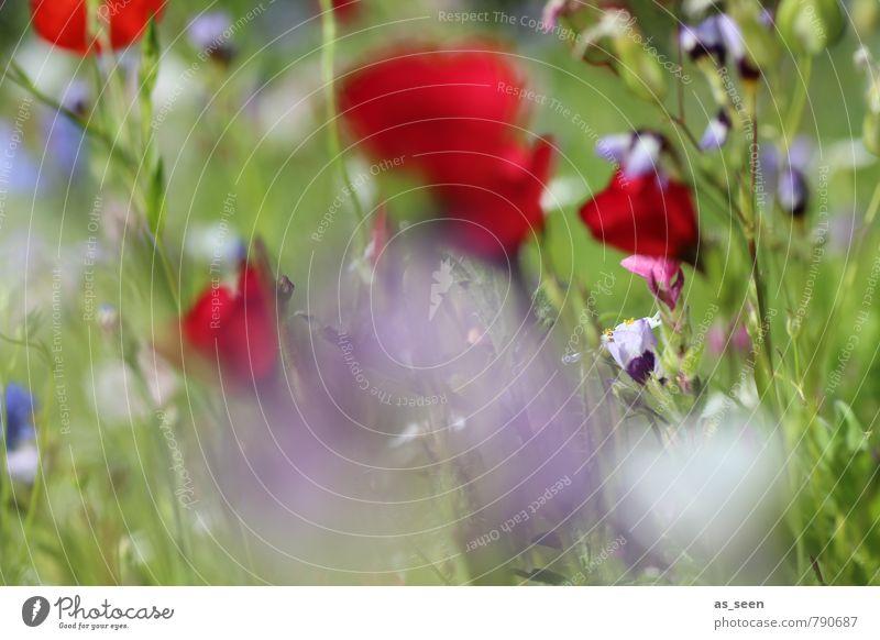 Sommerwiese II Natur Ferien & Urlaub & Reisen Pflanze schön Farbe Erholung Blume rot Umwelt Blüte Wiese Gras natürlich Garten Feld