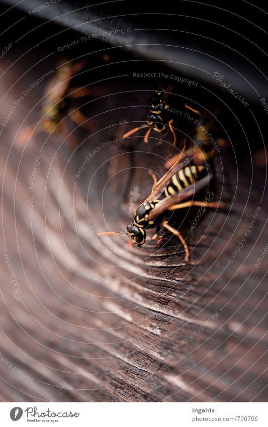 Untermieter Mauer Wand Fassade Balkon Tier Wildtier Flügel Wespen Feldwespe Insekt 3 Holz Bewegung hocken sitzen Häusliches Leben Zusammensein nah braun gelb