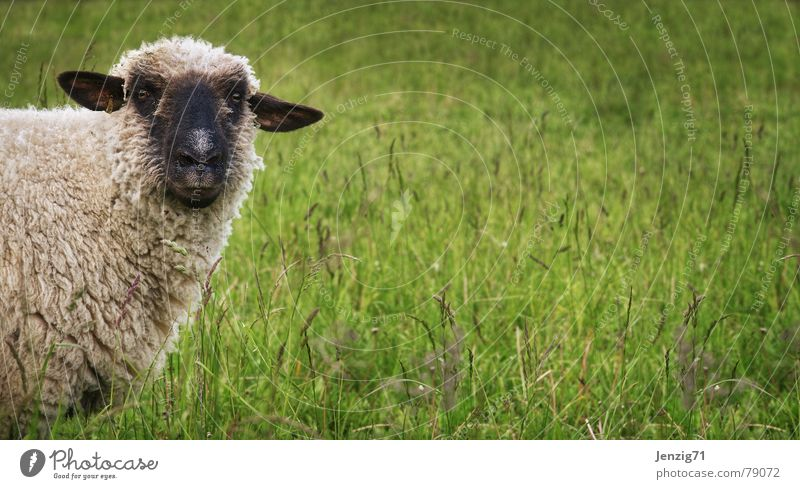Wir haben hier was zu klären! Natur grün schön Wiese Gras Rasen Landwirtschaft Bauernhof Weide Schaf Hirte Säugetier Grasland Wolle attraktiv Tier