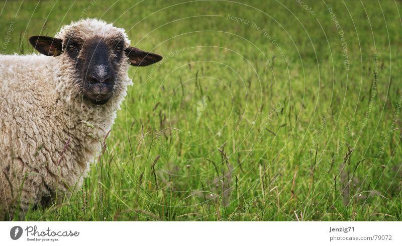 Wir haben hier was zu klären! Schaf Gras Wolle Schäfer Schafherde schön grün attraktiv Grünfläche Wiese Viehweide Landwirtschaft Weide Bergwiese Schafsbock