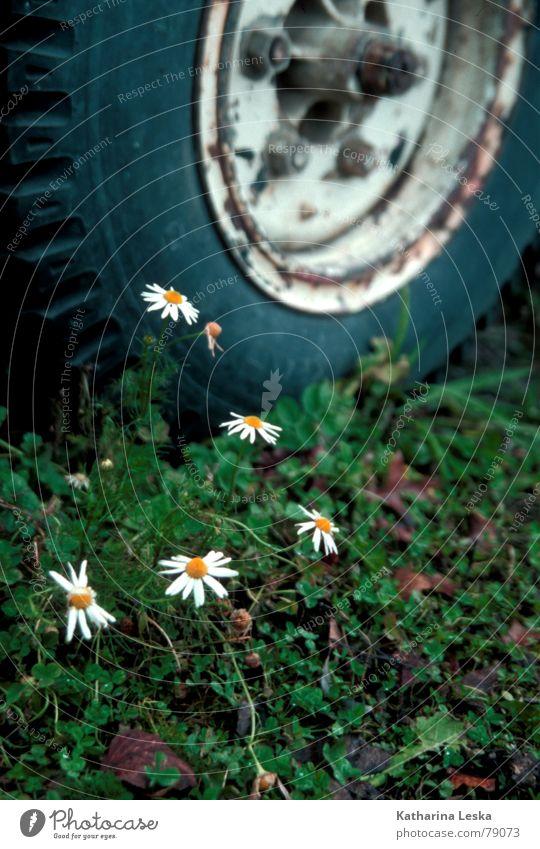 autofriedhof Gänseblümchen Blume grün Blumenstrauß Blüte Pflanze gelb Gras Feld Grünfläche Blatt Frühling springen Herbst Dekoration & Verzierung verfallen