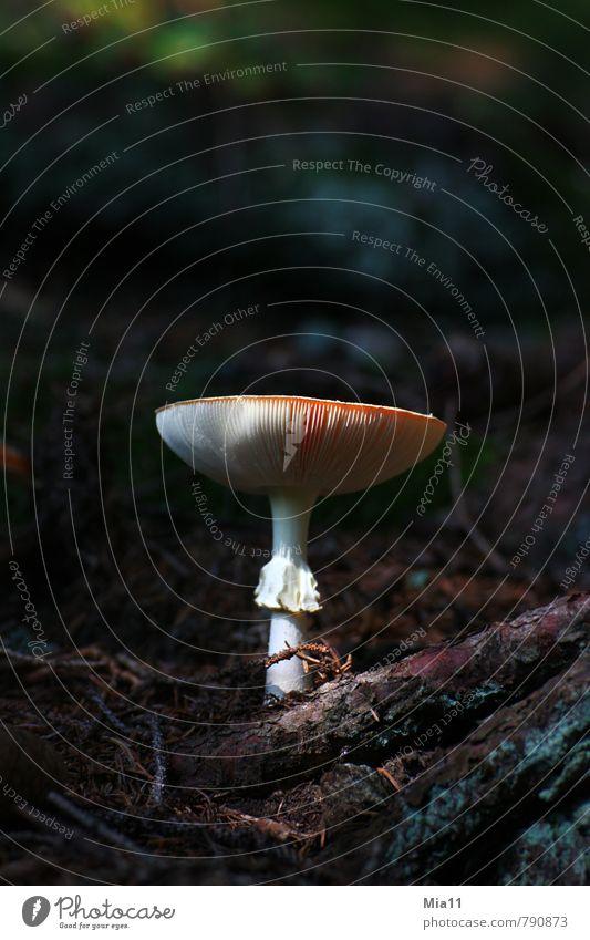 Nimm mich Natur Pflanze Wald Holz Pilz Fliegenpilz Gift Lamelle stehen Farbfoto Außenaufnahme Nahaufnahme Menschenleer Textfreiraum oben Hintergrund neutral Tag