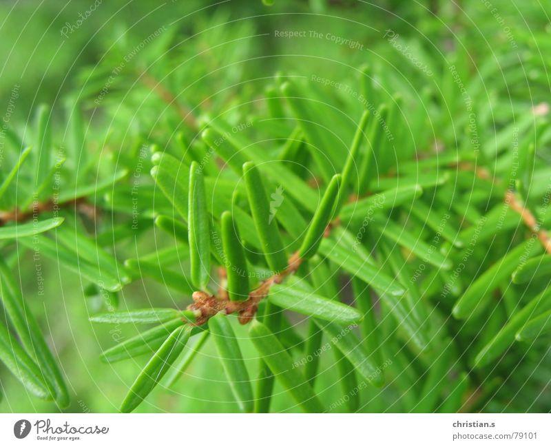 Frisches Grün. Tannennadel frisch Baum Makroaufnahme grün The Needles Sommer Nahaufnahme firneedle woods Natur forest fresh tree