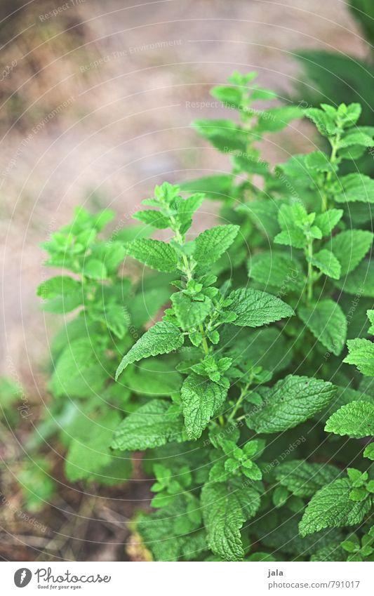 minze Natur Pflanze Blatt natürlich Gesundheit Lebensmittel frisch Ernährung Kräuter & Gewürze Bioprodukte Vegetarische Ernährung Grünpflanze Nutzpflanze Minze