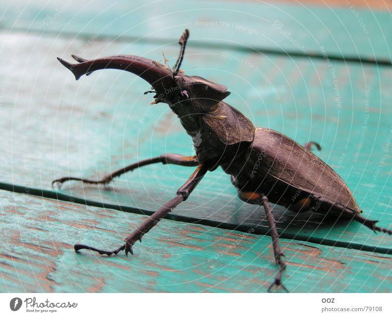 Megabag Käfer Monster Makroaufnahme Nahaufnahme beetle Horn claws eye insect testa shell
