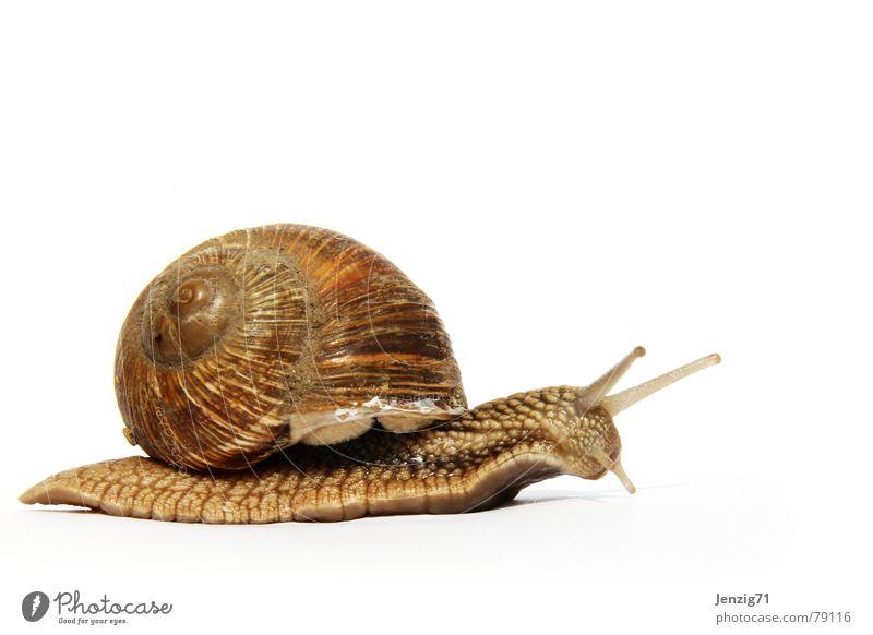 Go home. Schnecke Schneckenhaus Schleim schleimig krabbeln Tier Haus Fühler Einfamilienhaus molusken langsam fortbewegen Auge