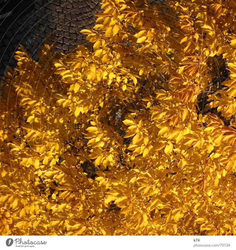 Fools Gold Blatt Vogelperspektive gelb Baum Kopfsteinpflaster Licht Herbst Oktober Vergänglichkeit Baumkrone gold Natur orange Straße