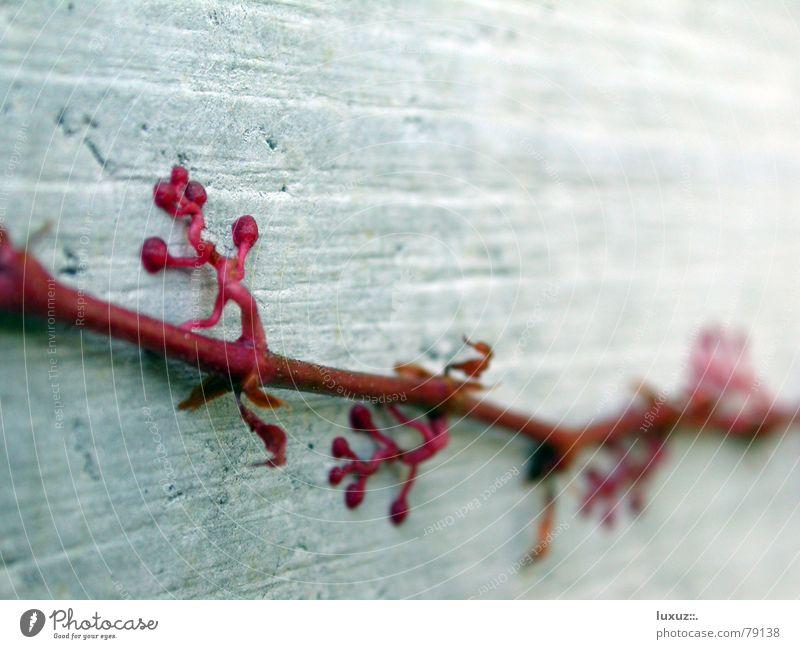 Kletterpflanze rot Pflanze Wand Herbst Garten Park Beton Ast Klettern Stengel Efeu Kletterpflanzen Ungeheuer Saugnapf