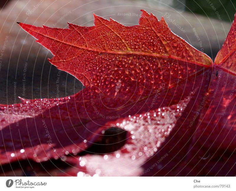 Auch Blätter bluten... Endstation Niedergang Blatt Herbst Trauer rot grün Hoffnung dunkel Baum Sorge Abschied Pflanze untergehen Ziel Beerdigung Ende Abend