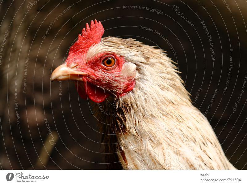 Huhn, Solo Tier braun Vogel Flügel Tiergesicht Haustier Fleisch Nutztier Haushuhn Hahn Geflügel Glucke