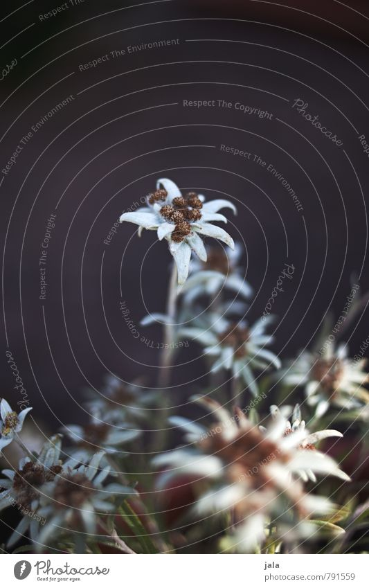 edelweiß Natur Pflanze schön Blume Blatt Blüte ästhetisch Wildpflanze Edelweiß