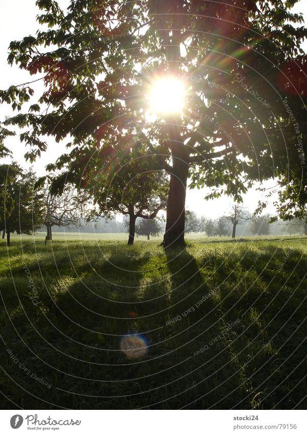 Auf der Kuhwiese Baum Licht Sonnenstrahlen Wiese zentral Hoffnung grün ruhig Baumstruktur Baumstamm Schatten Viehweide eingefangen Mittelpunkt kuhwiese
