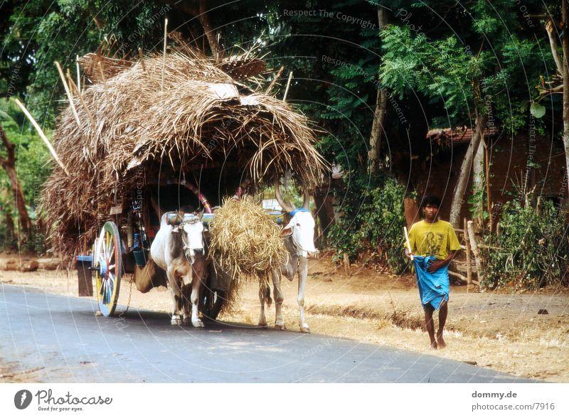 SriLankaBoy Rind Tier Mann kaz