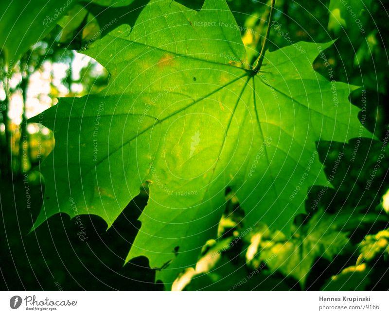 Grün in Grün Natur grün Baum schön Pflanze Blatt Wald Herbst Glück Zusammensein ästhetisch Fröhlichkeit Hoffnung Romantik Warmherzigkeit Schönes Wetter