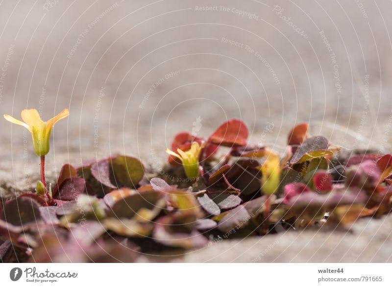 Aufdringliches Unkraut Garten Umwelt Natur Pflanze Blatt Blüte Grünpflanze Stein Blühend gelb rot Farbfoto Außenaufnahme Nahaufnahme Textfreiraum oben Tag