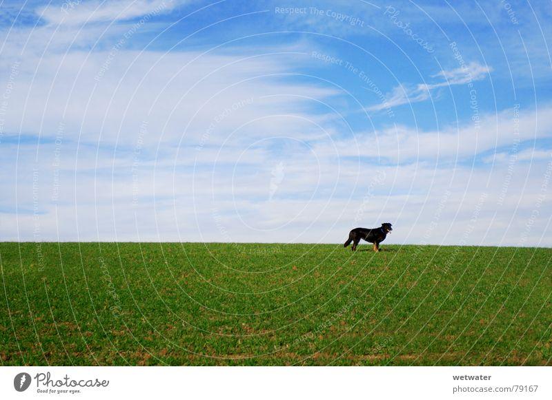 Hund auf Wiese Himmel grün blau Winter schwarz Einsamkeit Tier Gras Landschaft Feld Deutschland Rasen Säugetier Haustier