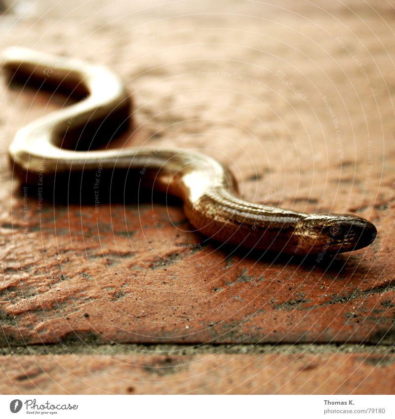 Blind schleichen (oder: was machst Du auf meiner Terrasse ?) Auge Tier Bodenbelag Fliesen u. Kacheln Ekel Reptil Fuge gekrümmt Echsen Windung schlangenförmig