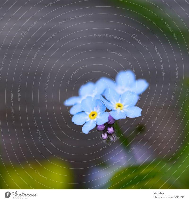 Holzzaun Umwelt Pflanze Sommer Blume Blüte Vergißmeinnicht außergewöhnlich exotisch schön blau grün Gefühle Glück Zufriedenheit Optimismus Liebe Verliebtheit