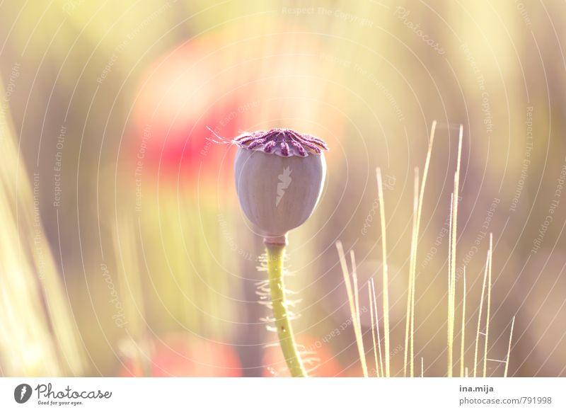 Mohnkapsel Umwelt Natur Pflanze Schönes Wetter Blume Wildpflanze Garten Wiese Feld verblüht Wachstum gelb grün rot Opium Mohnfeld Rauschmittel Naturwuchs