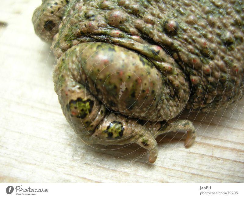 Krötenschenkel Tier Holz grün braun Amphibie Tarnung Frosch Beine Fuß
